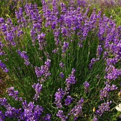 Лаванда, садовые растения