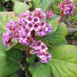 Цветок: бадан толстолистный