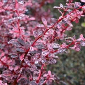 berberis_rose_glow