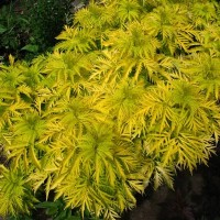 бузина, декоративые растения
