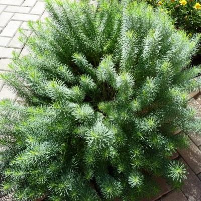 Молочай кипарисовидный, декоративные растения