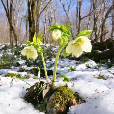 Морозник, садовые цветы