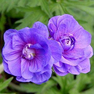 Geranium-pratense_Plenum-Violaceum_1