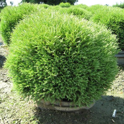 thuja-mr-bowling-ball_