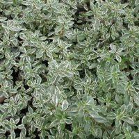 thymus-silver_queen