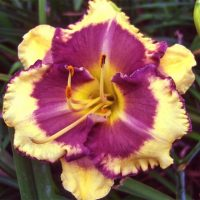 hemerocallis-blueberry-cream-