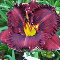 Hemerocallis Purplelicious