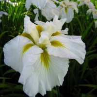 Iris-Goldbound-Japanese-