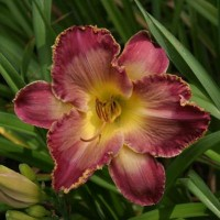 hemerocallis_elizabeths_magic-