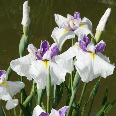 iris-ensata-queens-tiara.i-