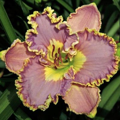 lavender tutu