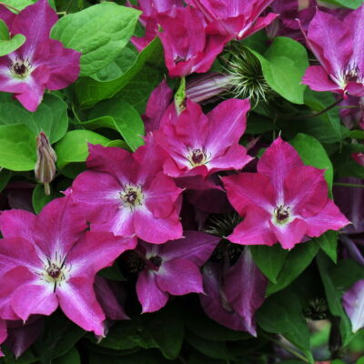 Clematis_Viva_Polonia_