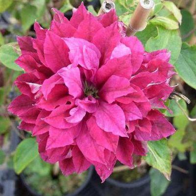 Clematis-Red-Star-Клематис-