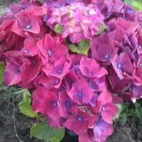 hot red violet