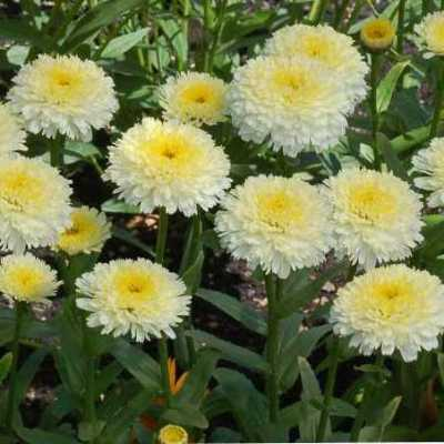 Leucanthemum-Luna