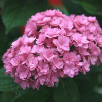 Hydrangea-macrophylla-Together.