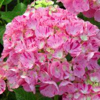 HydrangeaMacrophyllaSweetFantasy_03