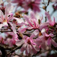 Magnolia-×-loebneri-Leonard-Messel