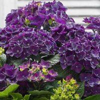 hydrangea_music_deep_purple_dance_