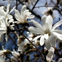 -magnoliya--stellata-royal-star