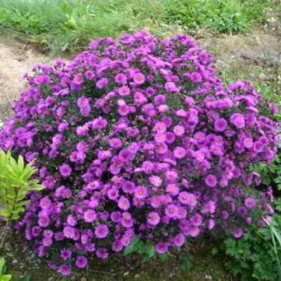 aster-dumosus-woods purple