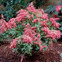 pieris_japonica_passion