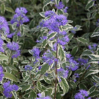 Caryopteris_c_W_Surprise