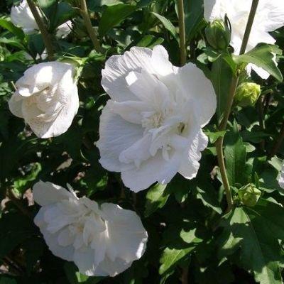Гибискус сирийский white