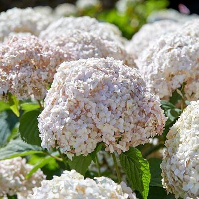 Hydrangea Candybelle Marshmallow