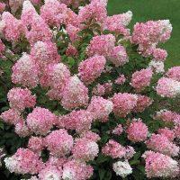 Гортензия-tach-of-pink
