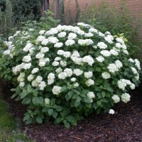 Гортензия Анабель, садовые растения