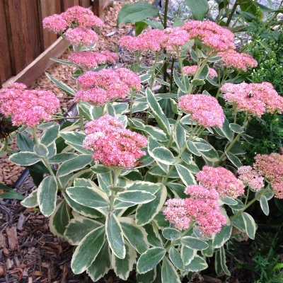 sedum autumn