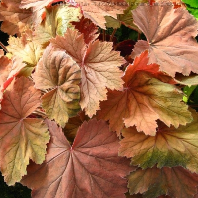 Heuchera Bronze Beauty
