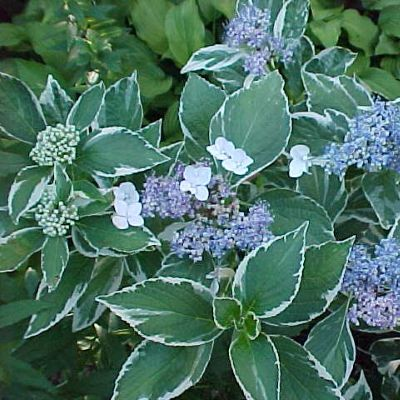-hydrangea_macrophylla_