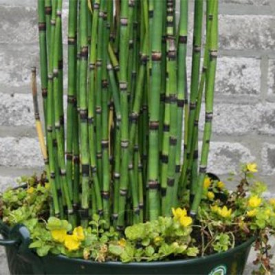 Equisetum hyemale Robus