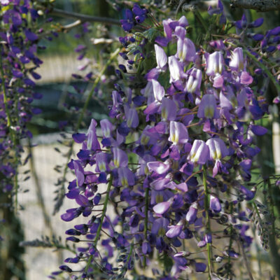 wisteria-floribunda-domino