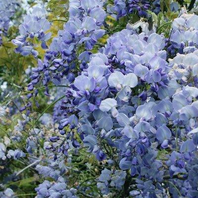 wisteria_blue_dream