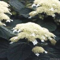 гортензия-древовидная-white-done