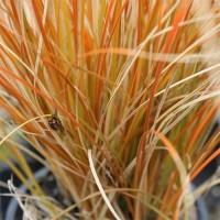 orange-sedge-carex-testac