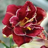 лилейник stellar dauble rose