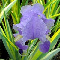 iris-aureo-var
