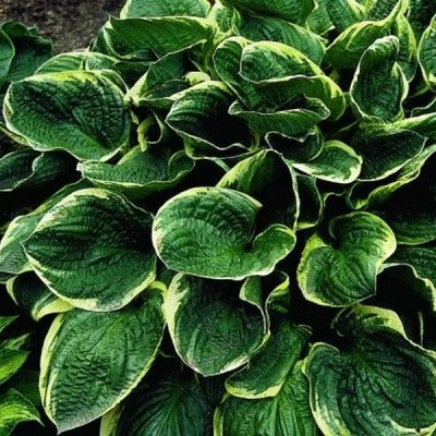 Hosta-Christmas-Tree