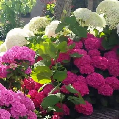 Гортензия садовая или крупнолистная