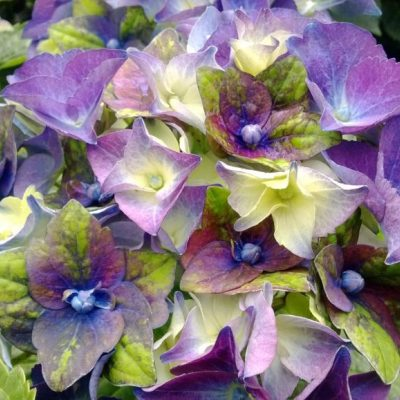 Hydrangea-macrophylla-Lady-Mata-Hari