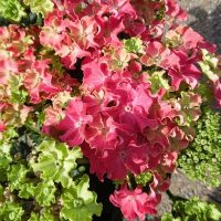 hydrangea-macrophylla-curly-sparkle-hot-pink