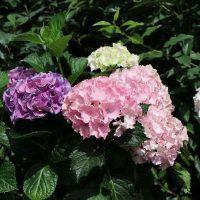 hydrangea three-sisters-pastell