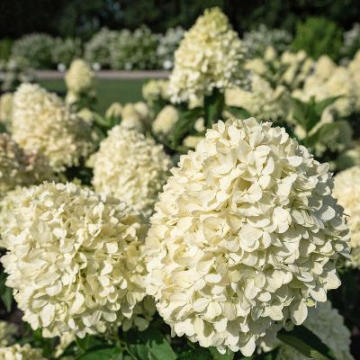paniculata cotton cream