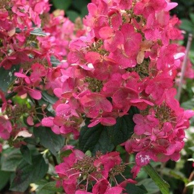 paniculata magical-fire