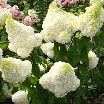 paniculata magical moonlig