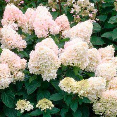 paniculata magical_sweet_summer